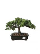 Bonsai Procumbens 12 anos