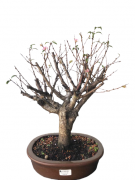 Bonsai Sakura Anã Rosa 15 anos