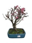 Bonsai Sakura Rosa 14 anos