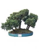Bonsai Shimpaku Floresta 15 anos
