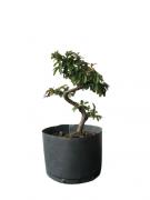 Pré-Bonsai Cotoneaster 03 anos