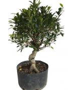 Pré-Bonsai Ficus 10 anos