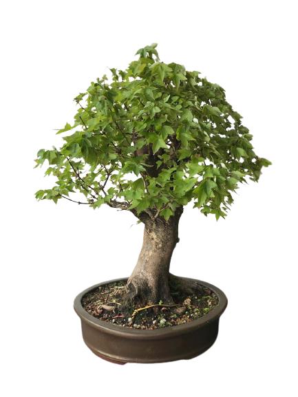 Bonsai Acer Kaedê 25 anos