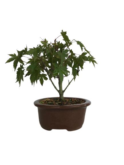 Bonsai Acer Palmatum 03 anos