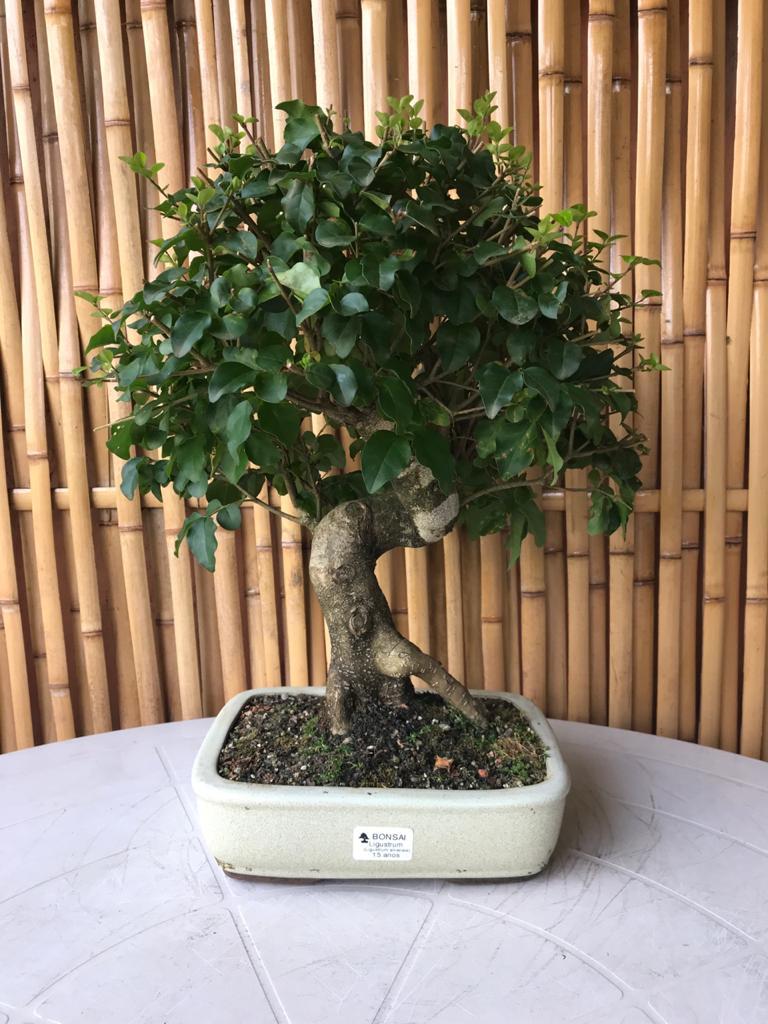 Bonsai Ligustro 15 anos