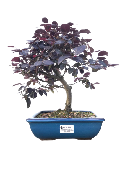 Bonsai Loropetalum Rubrum 06 anos
