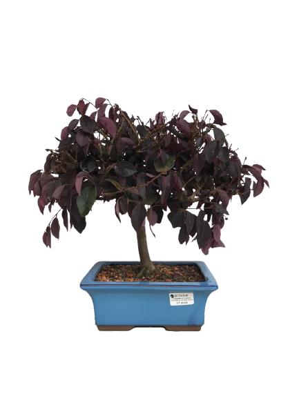 Bonsai Loropetalum Rubrum 07 anos