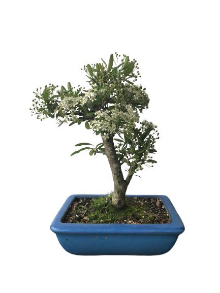Bonsai Piracantha 06 anos (Cor: Vermelha)