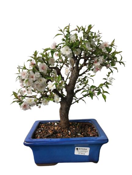 Bonsai Sakura Branca 07 anos