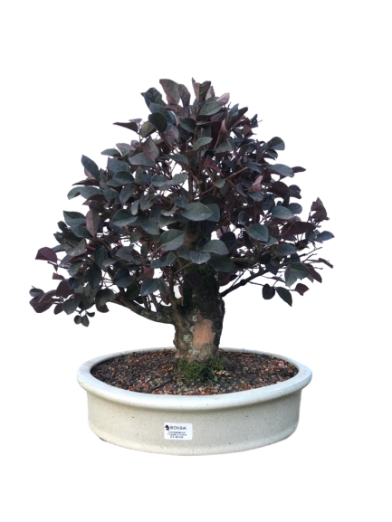 Bonsai Loropetalum Rubrum 23 anos