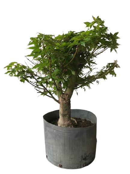 Pré-Bonsai Acer Palmatum 15 anos