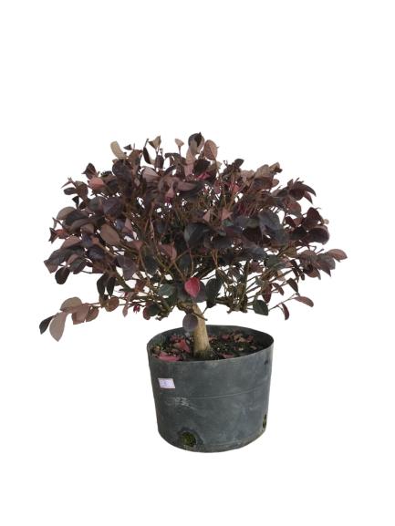 Pré-Bonsai Loropetalum Rubrum 03 anos
