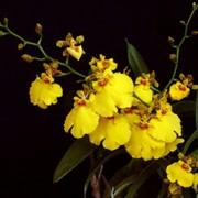 Oncidium Aloha Iwanaga - cód CO06
