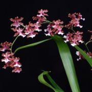 Oncidium Sharry Baby Sweet Fragrance - cód CO133