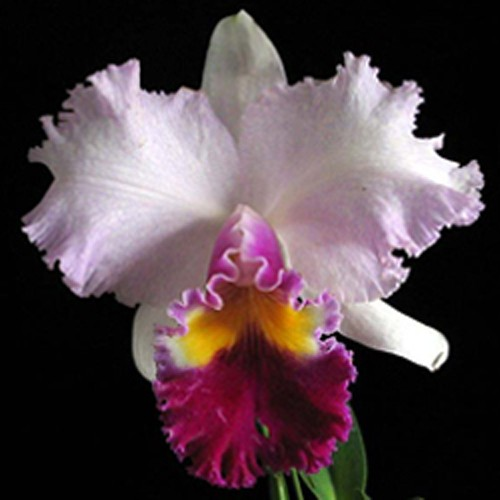 Blc Mishima Monarch Blumen Insel - cód 504 - Pote 10