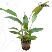 Anúbia Lanceolata