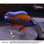 Aulonocara Eureka (Malawi) 10 a 12 cm