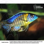 Aulonocara Stuartgranti Blue Neon 8 a 10 cm (malawi)