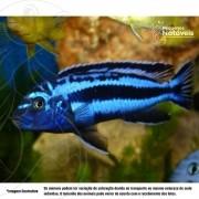 Auratus Azul 4 a 6 cm