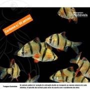 Barbo Sumatra 3 a 5 cm (cardume c/ 5)