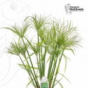Cyperus papyrus Nana (planta de superfície)