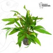 Hygrophila Stricta