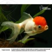 Kinguio Oranda Red Cap  de 10 a 12 cm