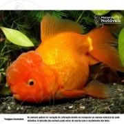 Kinguio Oranda Vermelho Matriz de 12 a 15 cm