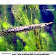 Lepisosteus Oculatus 10 a 12 cm