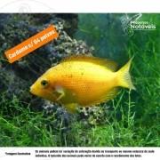 Mexirica Amarelo 3 a 4 cm (cardume c/ 4)