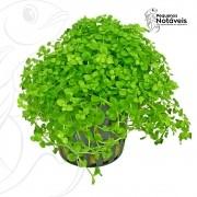 Micranthemum SP. Montecarlo