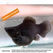 Molinésia Balão Black 2 a 3 cm (cardume c/ 4)
