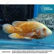 Oscar Albino Red Ruby 5 a 7 cm