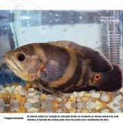 Oscar Tigre 5 a 7 cm