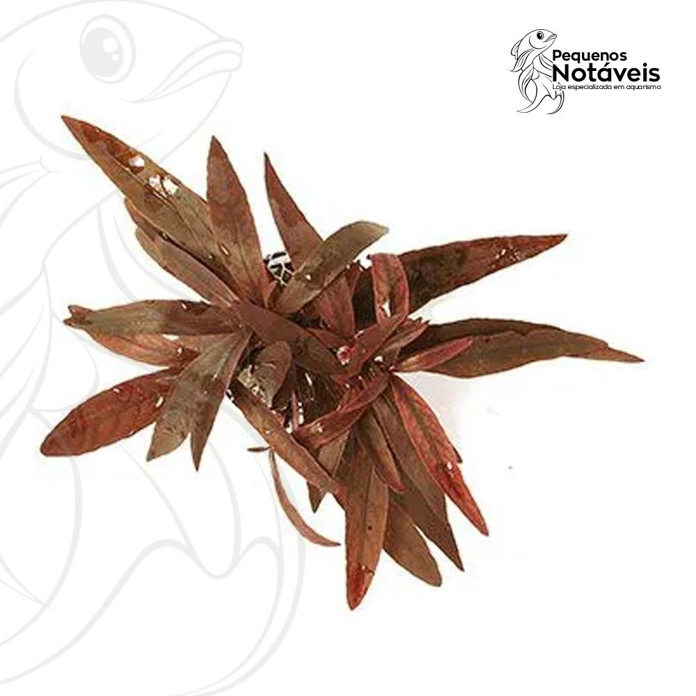 Alternanthera Sessillis (violácea)  - Pequenos Notáveis