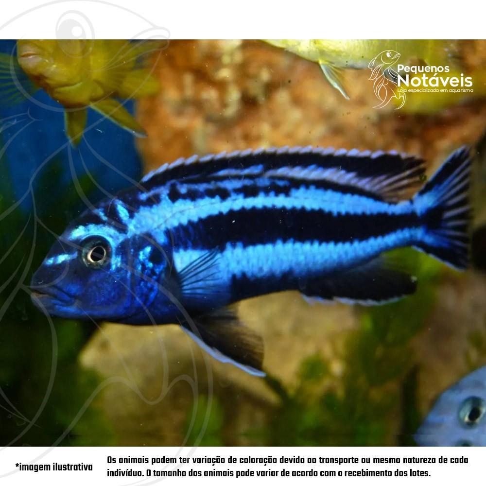 Auratus Azul 4 a 6 cm  - Pequenos Notáveis