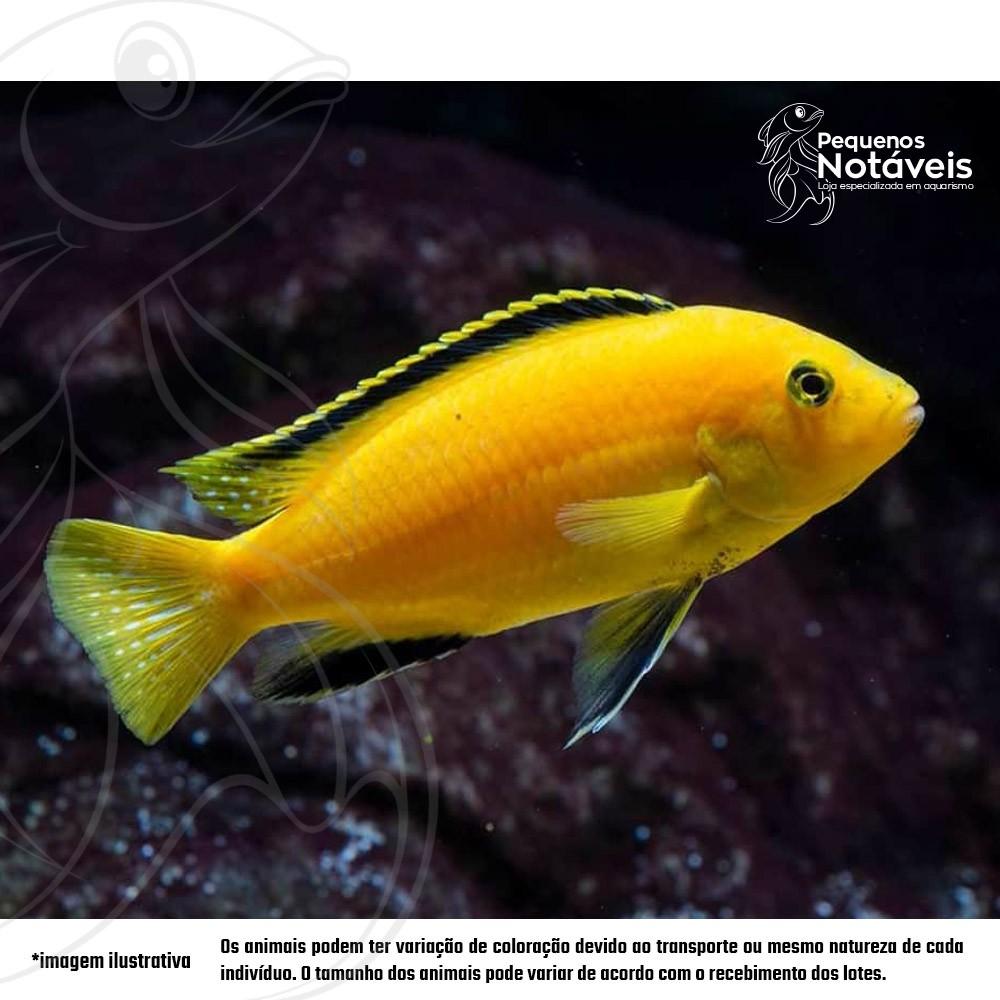 Labidochromis Yellow (Malawi) 4 a 6 cm  - Pequenos Notáveis
