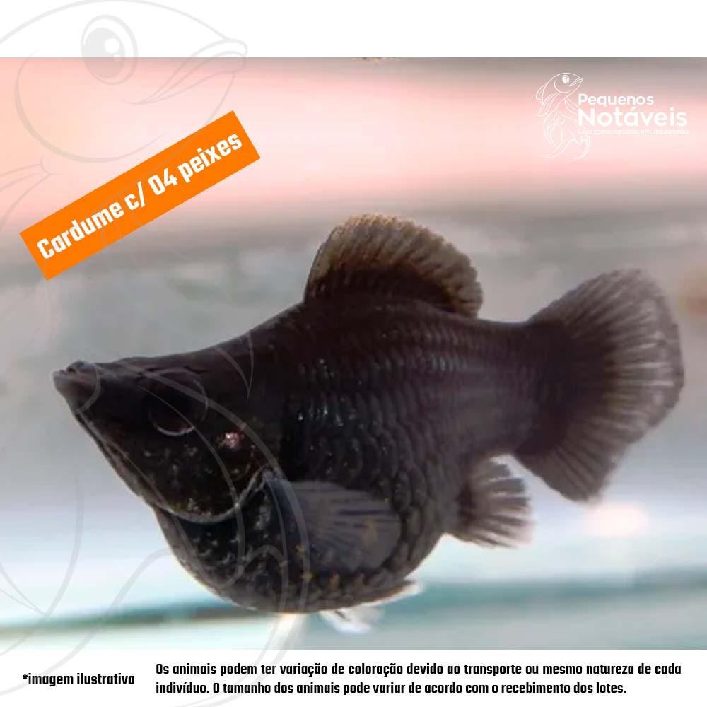 Molinésia Balão Black 2 a 3 cm (cardume c/ 4)  - Pequenos Notáveis