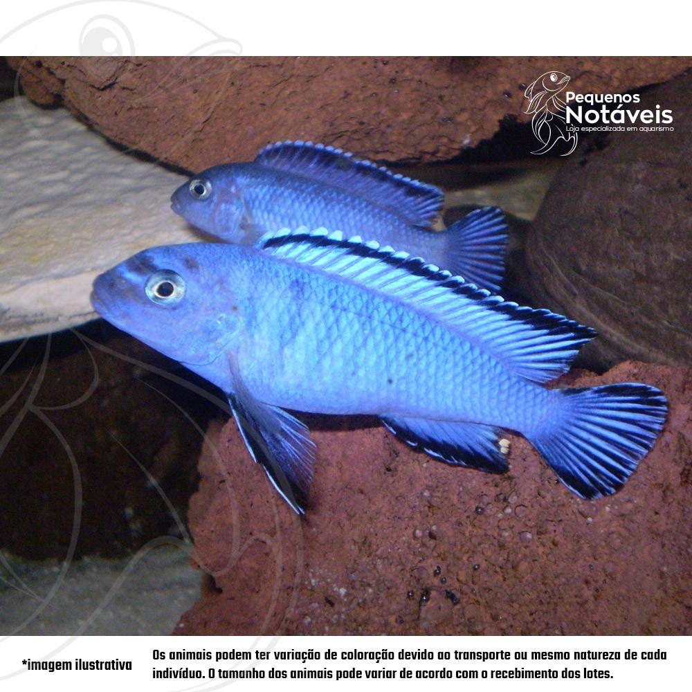 Socolofi Azul 4 a 6 cm  - Pequenos Notáveis