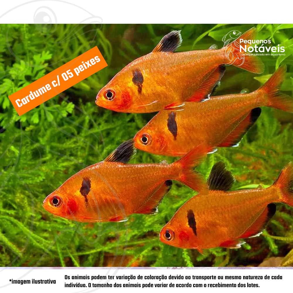 Tetra Mato Grosso 2 a 3 cm (cardume com 5)  - Pequenos Notáveis