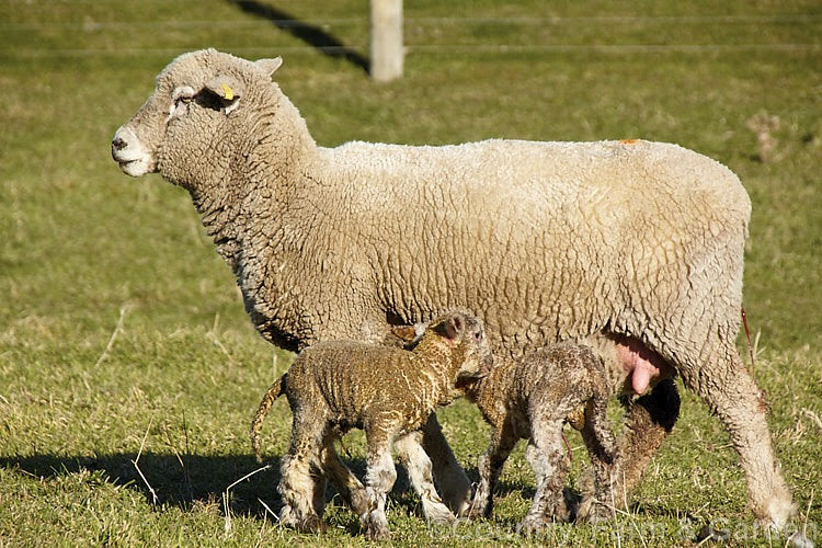 Ovelha Corriedale com cordeiros gêmeos