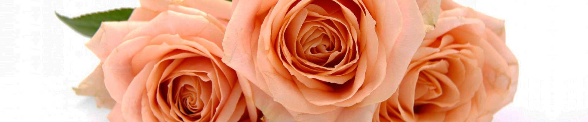 flores rosa chá