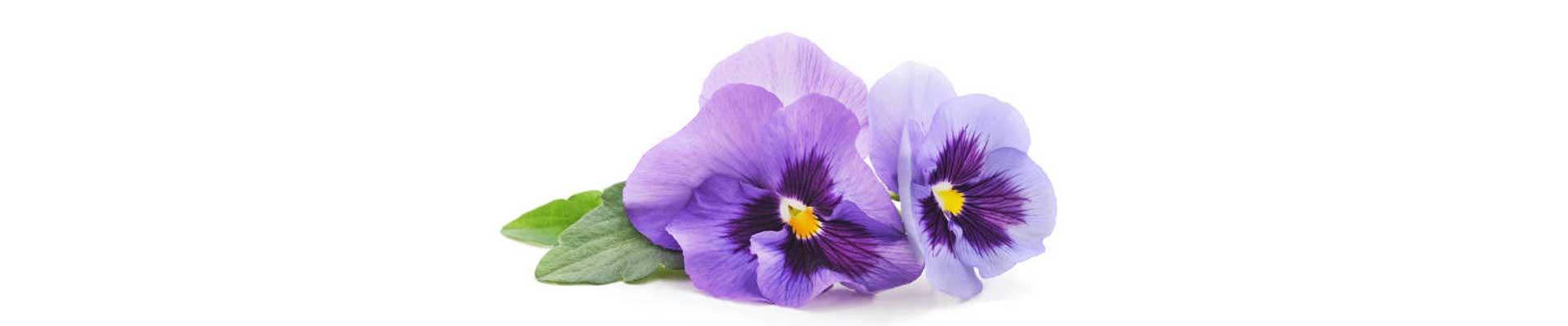 vaso de violetas