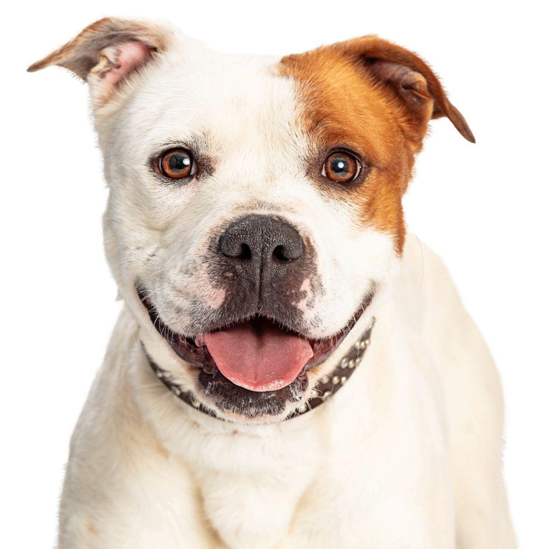 Porta Coleira Pitbull,  Suporte Organizador Coleira de cachorro em  Aço