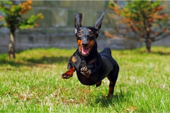 Porta Coleira de cachorro Dachshund ,  Suporte Organizador Coleira Aço