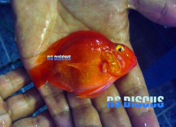 Papagaio Purpura 7 a 8 cm