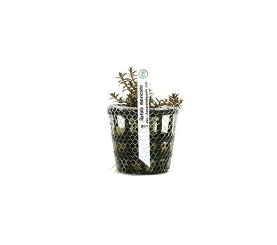 Planta Rotala Mexicana