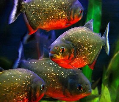 Piranha Vermelha  6 a 7 cm