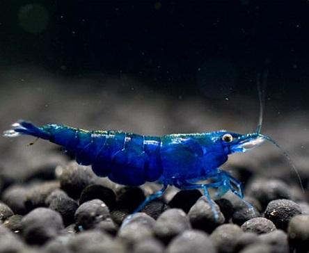 Camarão Blue Dream 1 a 2 cm