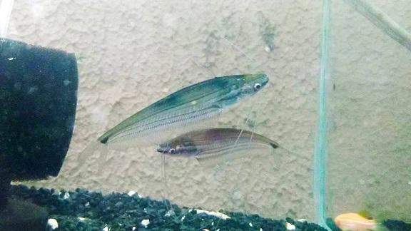 Color Ompok 7 a 8 cm ( NOVO )